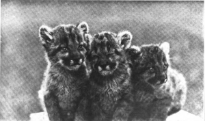 Baby Mountain Lions targeted by Aldo Leopold